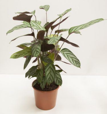 Calathea Leopardina - Vivaio Arreda Online Shop