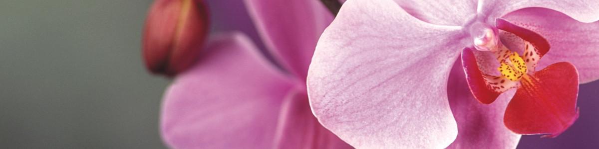 L'orchidea, perfezione ed eleganza