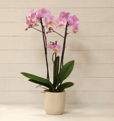 orchidea phalaenopsis vivaio arreda