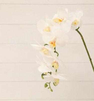 img_1830-orchidea-phalaenopsis-bianca-fileminimizer