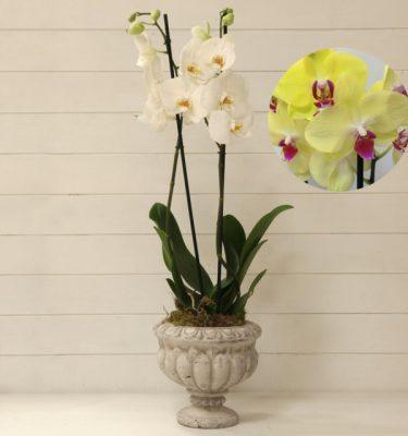 Orchidea Phalaenopsis Giallo Ciotola Alzata - Vivaio Arreda Online Shop