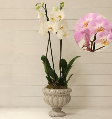 Orchidea Phalaenopsis Rosa Ciotola Alzata - Vivaio Arreda Online Shop