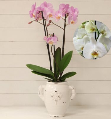 Orchidea Phalaenopsis Bianco Vaso con Manici - Vivaio Arreda Online Shop