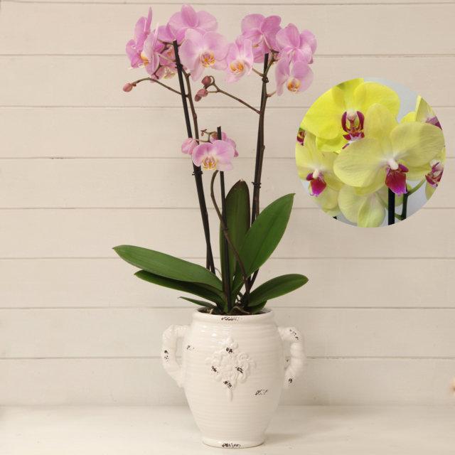 Orchidea phalaenopsis giallo vaso con manici vivaio arreda for Vaso orchidea