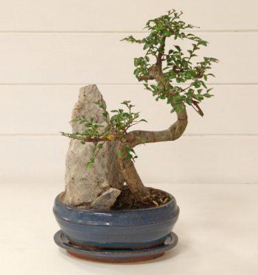 Bonsai Zelkova Parvifolia vaso 16 - Vivaio Arreda Online Shop