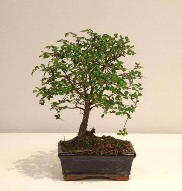 IMG_2643 bonsai zelkova (FILEminimizer)