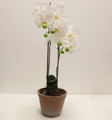 Orchidea Phalaenopsis Fiore Grande - Vivaio Arreda Online Shop