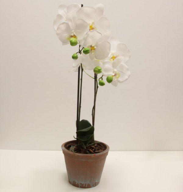 IMG_3638 orchidea phalaenopsis fiore grande (FILEminimizer)