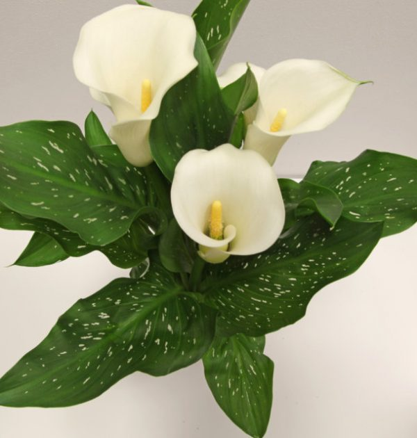 IMG_3769 calla bianca (zantedeschia) (FILEminimizer)