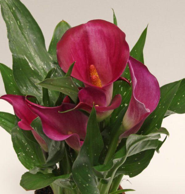IMG_3777 calla rosa (zantedeschia) (FILEminimizer)