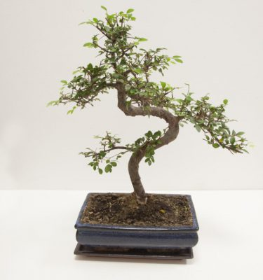 Bonsai Zelkova Parvifolia - Vivaio Arreda Online Shop