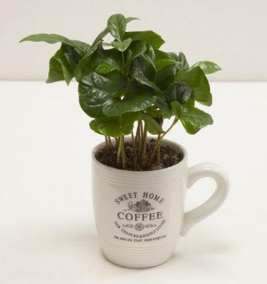 Coffea Arabica in tazza - Vivaio Arreda Online Shop