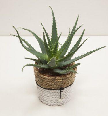 Aloe Arborescens con cesto - Vivaio Arreda Online Shop