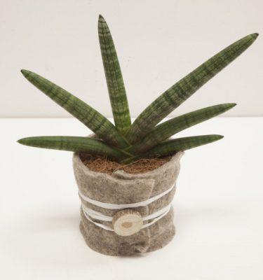 Sansevieria Cylindrica Skyline - Vivaio Arreda Online Shop