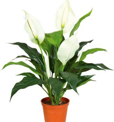 Spathiphyllum vaso 13 - Spathiphyllum vaso 17 - Vivaio Arreda Online Shop