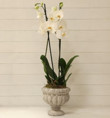 Orchidea Phalaenopsis Bianco Ciotola Alzata - Vivaio Arreda Online Shop