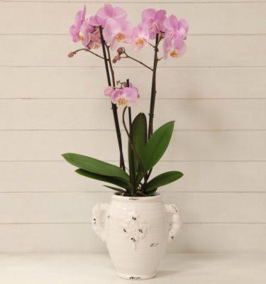 orchidee - Orchidea Phalaenopsis Rosa Vaso con Manici