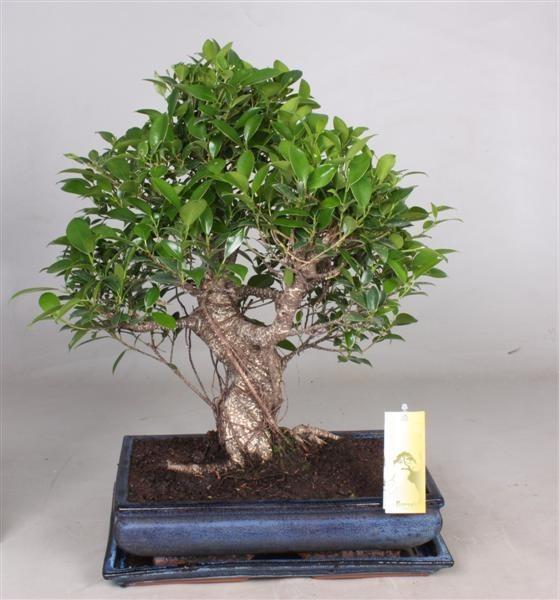 Vivaio_Arreda_Bonsai_Ficus