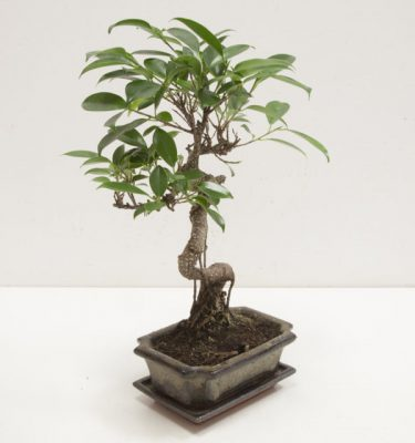 IMG_7776 bonsai ficus 26 (FILEminimizer)