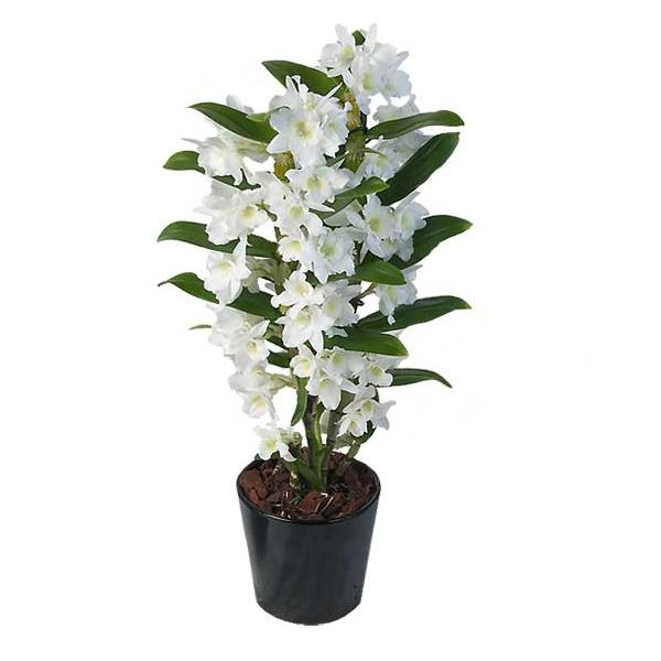 orchidea dendrobium nobile vivaio arreda shop. Black Bedroom Furniture Sets. Home Design Ideas