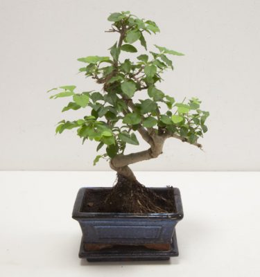 Bonsai Ligustrum - Vivaio Arreda Online Shop