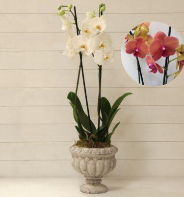 Orchidea Phalaenopsis Arancio Ciotola Alzata - Vivaio Arreda Online Shop