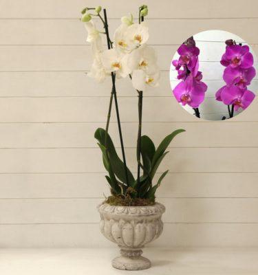 Orchidea Phalaenopsis Viola Ciotola Alzata - Vivaio Arreda Online Shop