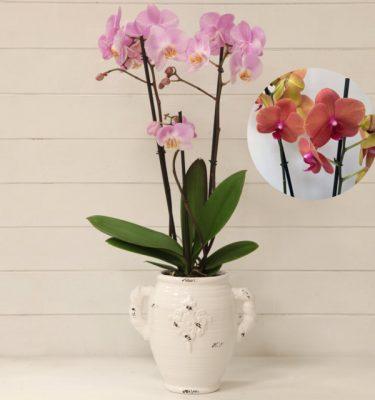 Orchidea Phalaenopsis Arancio Vaso con Manici - Vivaio Arreda Online shop
