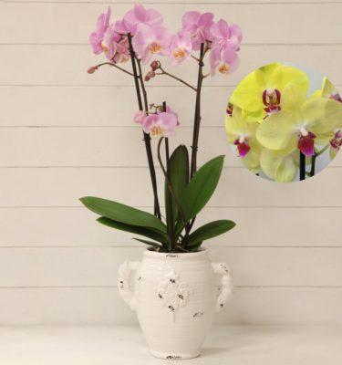 Orchidea Phalaenopsis Giallo Vaso con Manici - Vivaio Arreda Online Shop