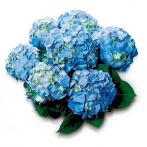 ortensia-azzurro