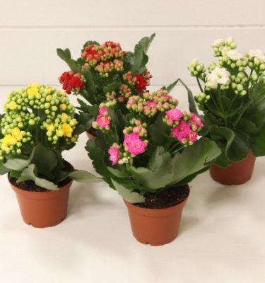 Quattro Kalanchoe Calandiva vaso 7 - Vivaio Arreda Online Shop