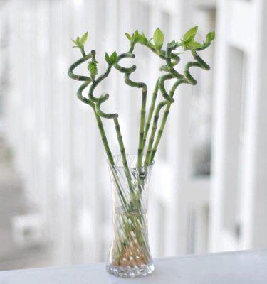 Lucky Bamboo Spirale- Vivaio Arreda Online Shop