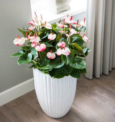Anthurium Amalia Elegance