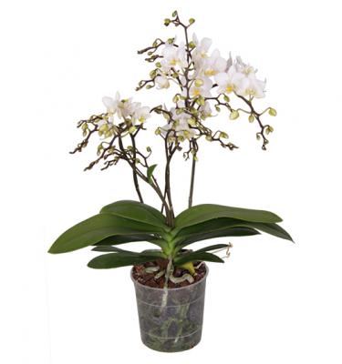 Phalaenopsis Wildflower