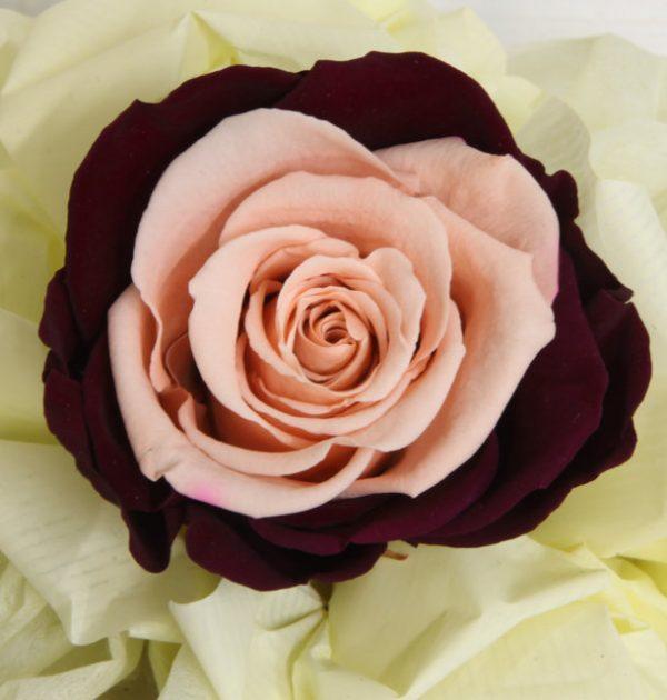 Rosa Stabilizzata Bicolor - Vivaio Arreda Online Shop
