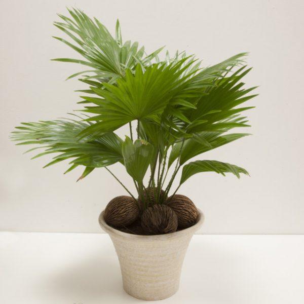 Livistona Rotoundifolia Slim - Vivaio Arreda Online Shop
