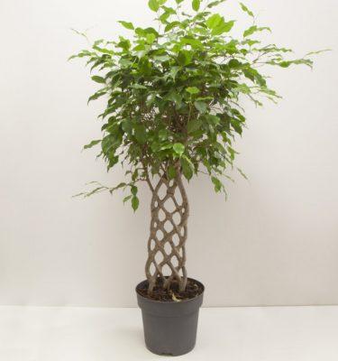 Ficus Regina - Vivaio Arreda Online Shop