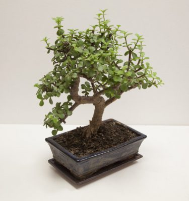 bonsai portulacaria afra - Vivaio Arreda Online Shop