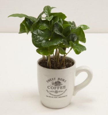 Coffea Arabica in tazza - Vivaio Arreda Online Shop