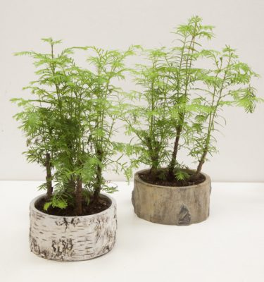 Bonsai Metasequoia Forest - Vivaio Arreda Online Shop