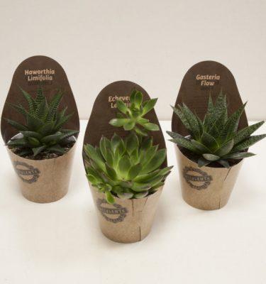 Piante grasse special - Vivaio Arreda Online Shop