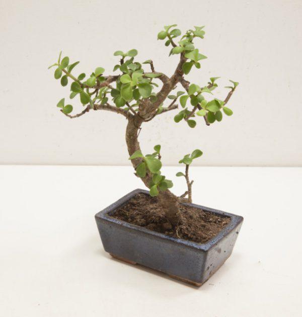 bonsai portulacaria grande
