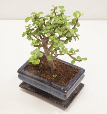 bonsai portulacaria